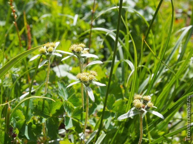 Эдельвейсы в траве