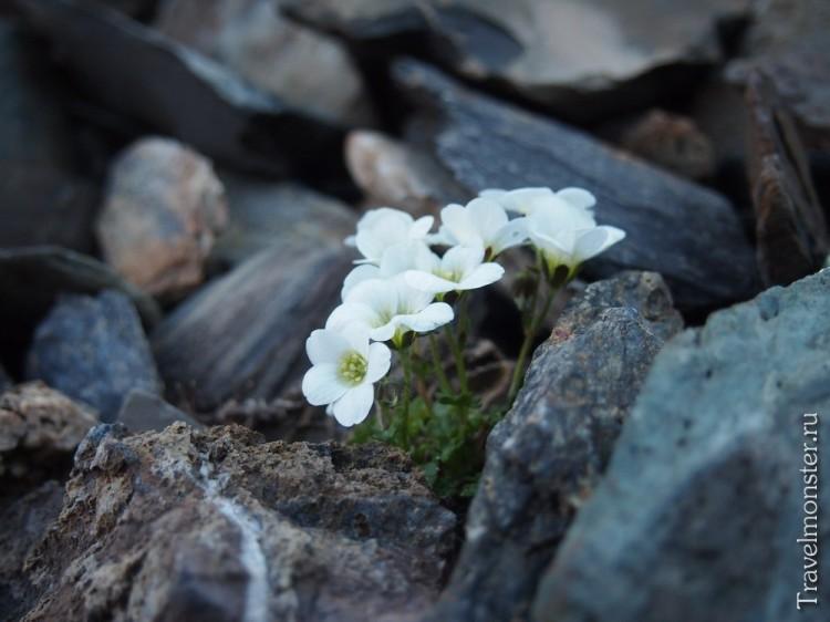 Белые цветы в камнях