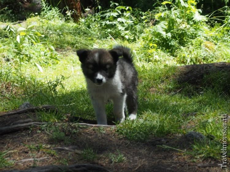 Маленький щенок, сражающийся на жизнь в алтайских горах