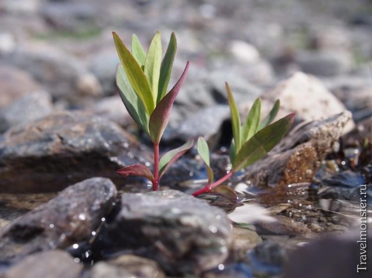 Пара ростков в воде алтайского ручейка