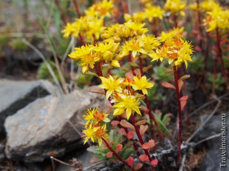 Желтые алтайские цветы