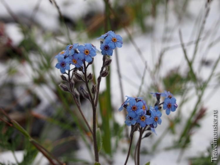 Алтайские цветы и свежевыпавший снег