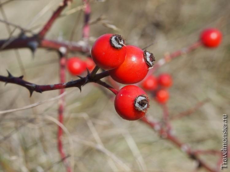 Яркий, сочный шиповник - осенние дары