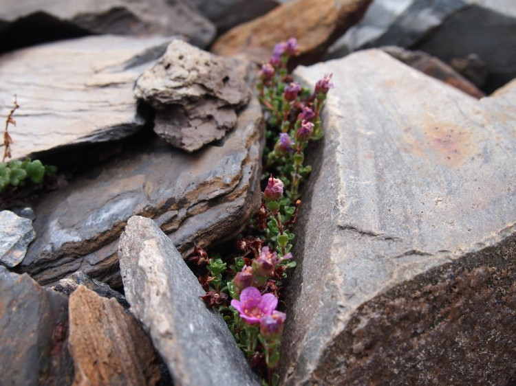 Розовые цветы в камнях