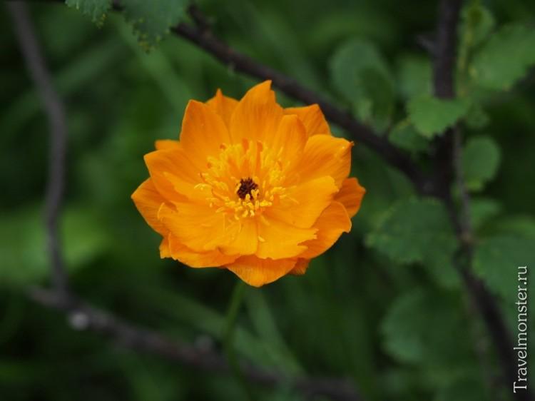 Яркий цветок в горах Алтая