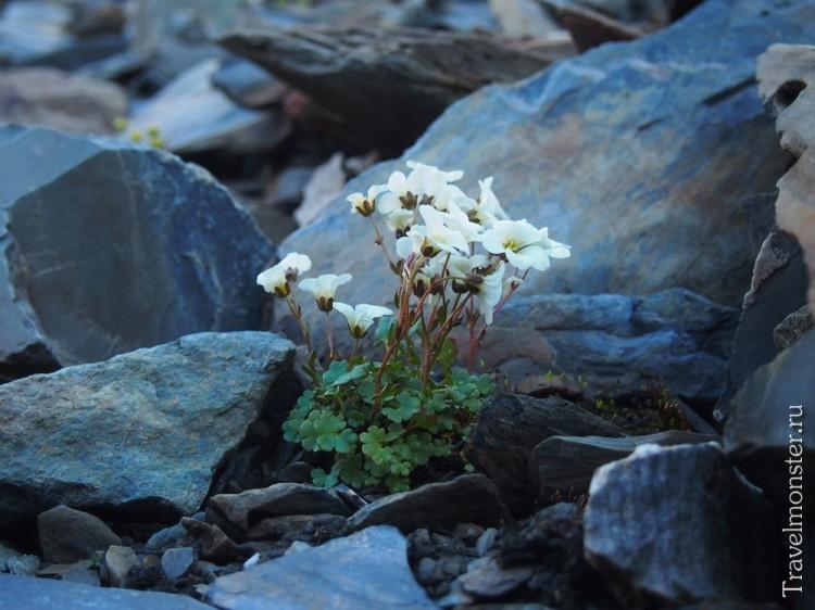 Одни из самых высокогорных цветов Алтайского края