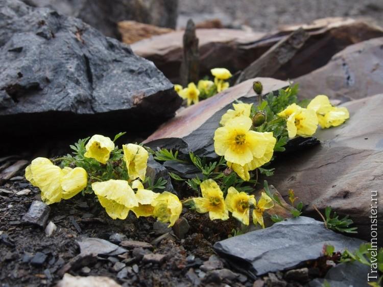 Второй вариант местных высокогорных цветов