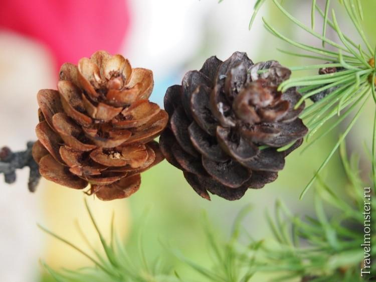 Прошлогодняя и свежая шишки на лиственнице
