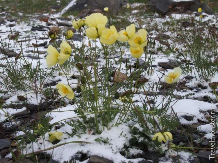 Желтые маки в снегу