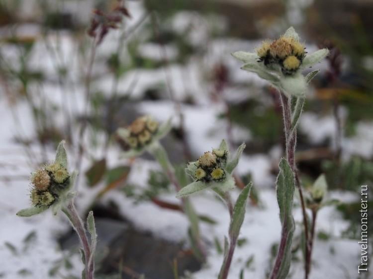 Снежные эдельвейсы